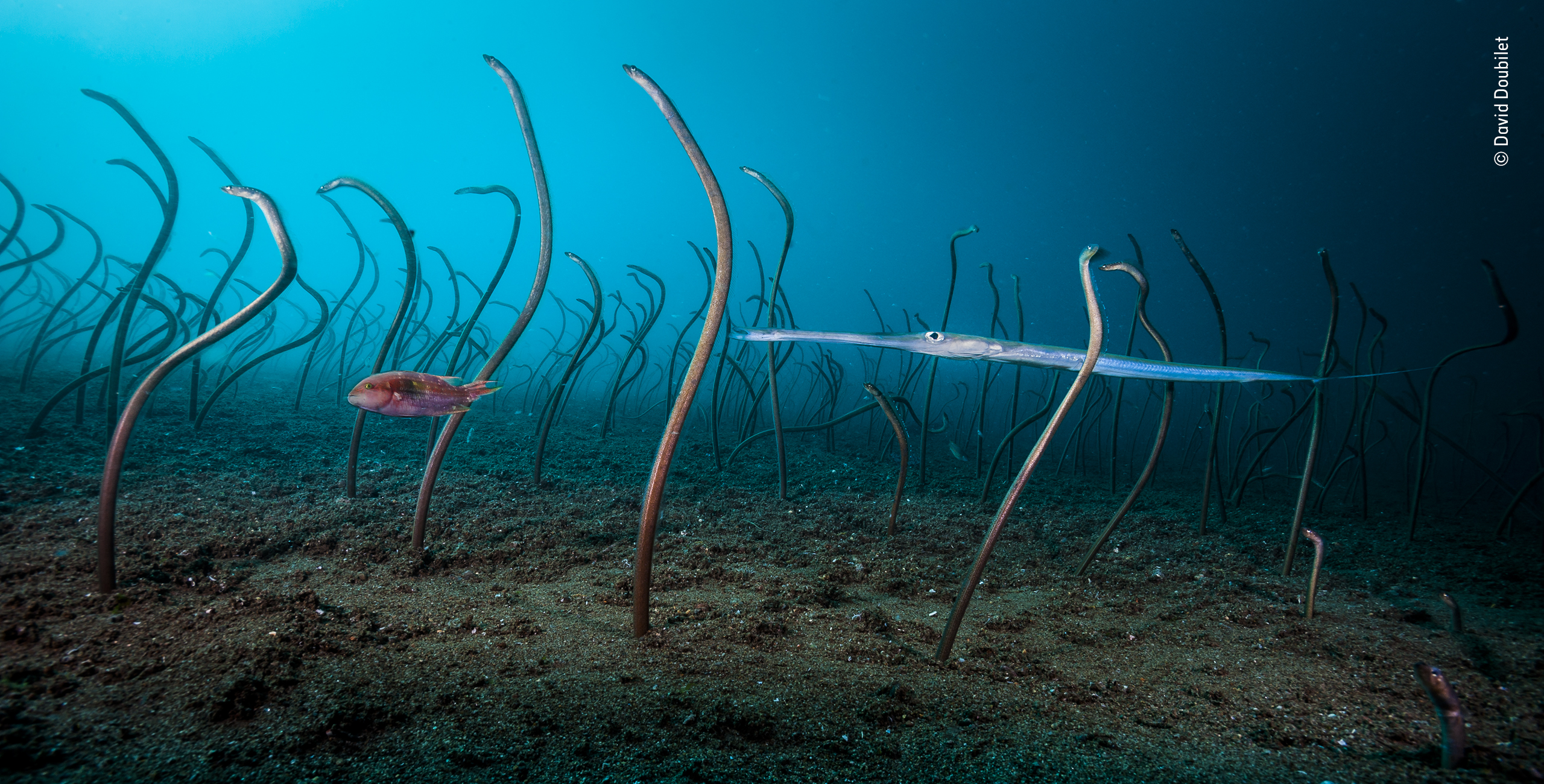 A  wrasse and coronet fish glide through a vast colony of garden eels off Dumaguete, Philippines. The extremely shy and elusive  garden eels disappear the moment they detect your presence. This image required deploying a remote camera set up to capture th